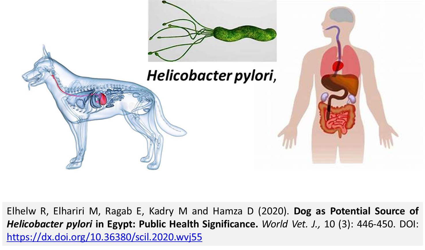 1300-Dog_Source_of_Helicobacter_pylori_in_Egypt